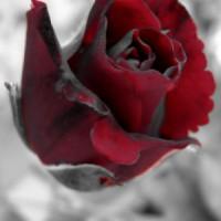 Platno Ruža